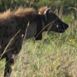 Hyena scent marking